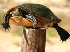 Turtle on Fencepost.jpg